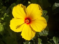 flower_yellow_flower_hibiscus